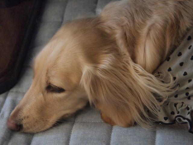 高齢・老犬用ベッドマット開発物語